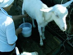 Козье молоко грудному ребенку выбирайте внимательно