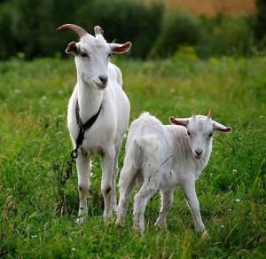 Козье молоко - натуральный продукт